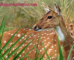 Deer-in-Bangladesh1