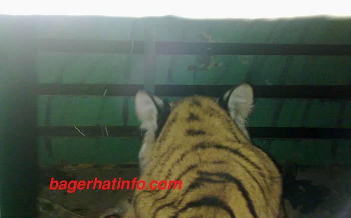 Tiger-arest